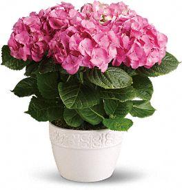 Hydrangea plant thumb mightylinksfo